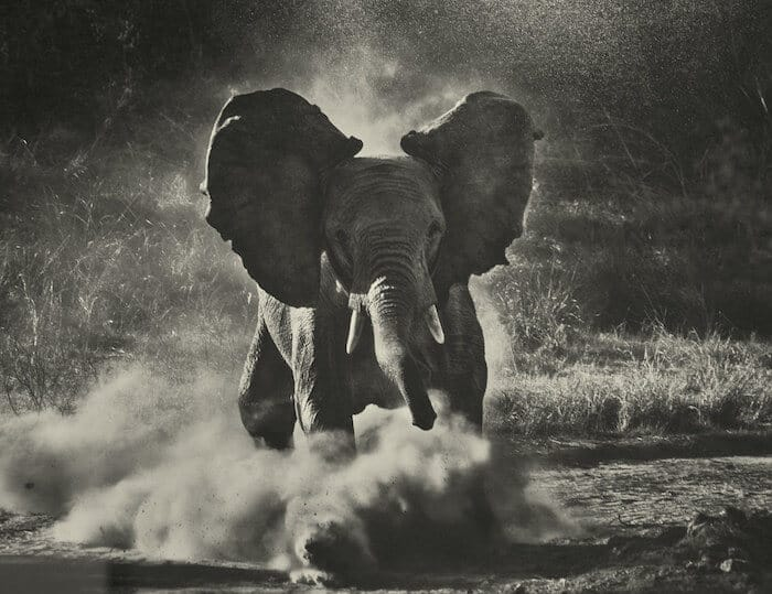 Grayscale of an elephant.