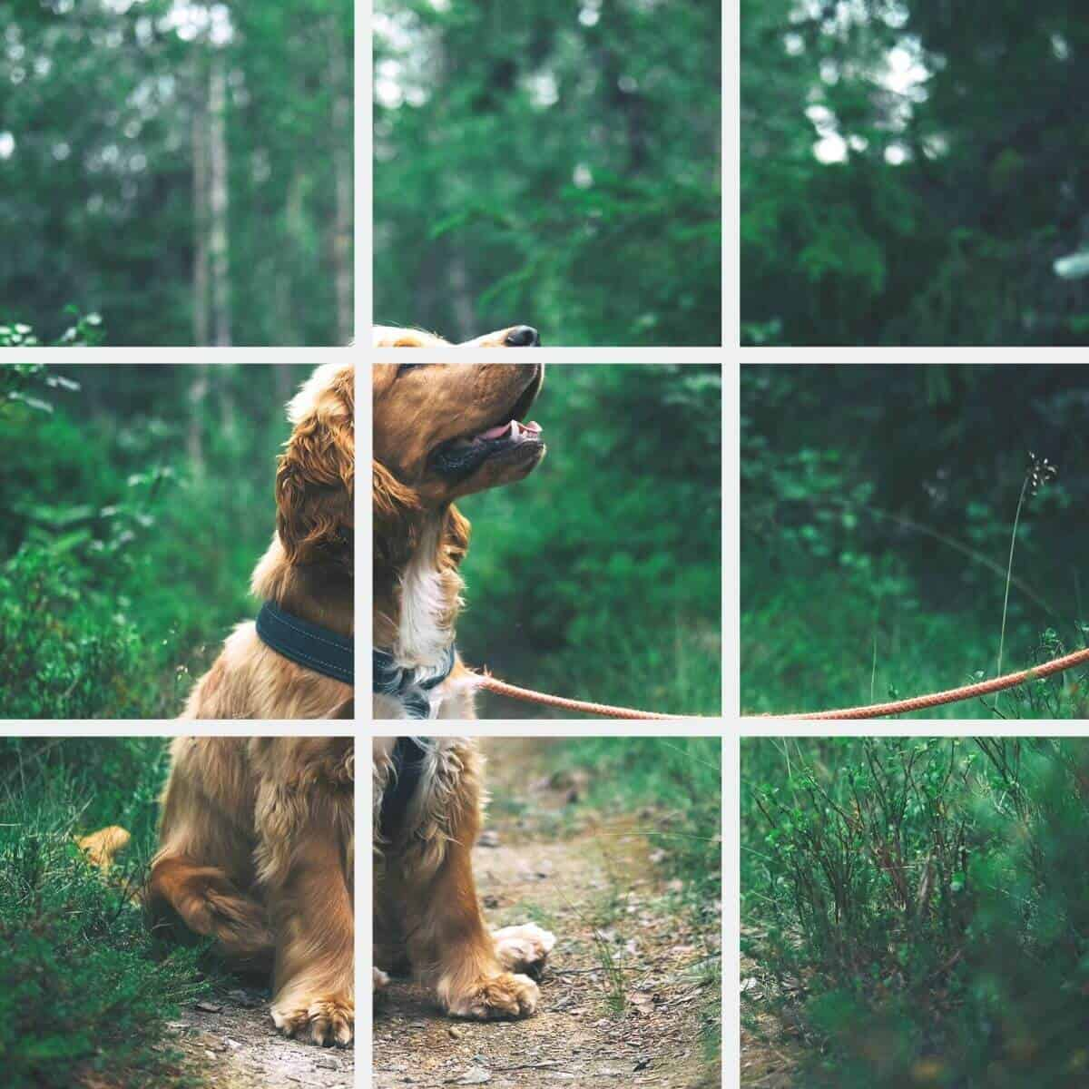 Rule of thirds example with a dog in the forest.