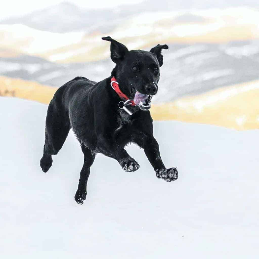 Black dog running in the snow.