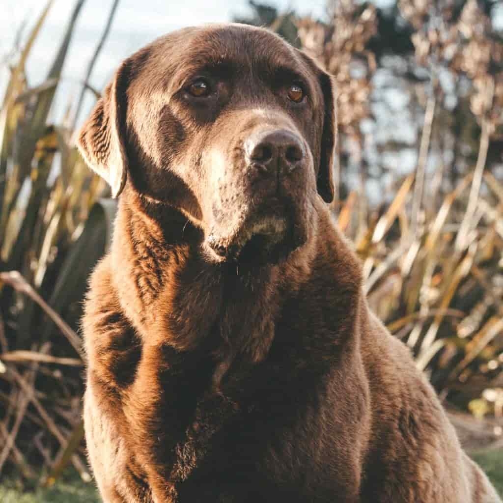 Large brown dog in a field and looking to the side.